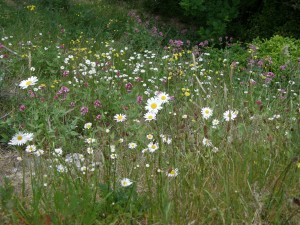 Wildflowers in Beaumont Quarry